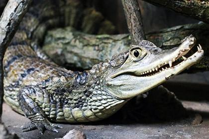 Крокодил пострадал после падения на него тучного бухгалтера в Мурманске