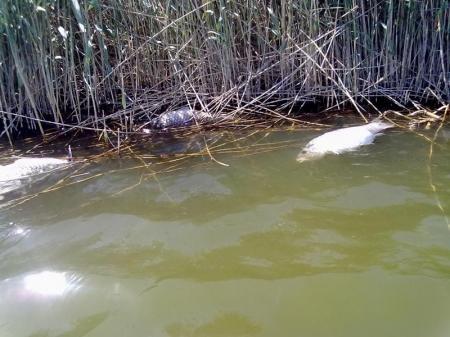 Экологи: В прибрежных водах Каспия произошла массовая гибель рыбы