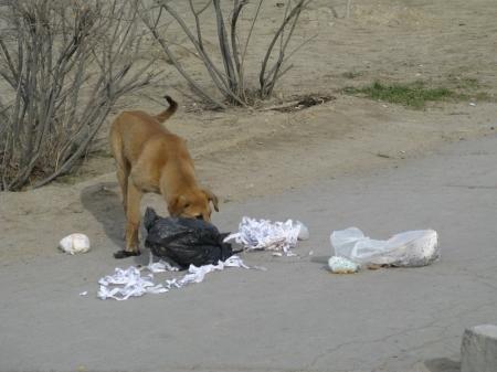 Почти 12 миллионов тенге выделили в Актау на истребление бродячих животных