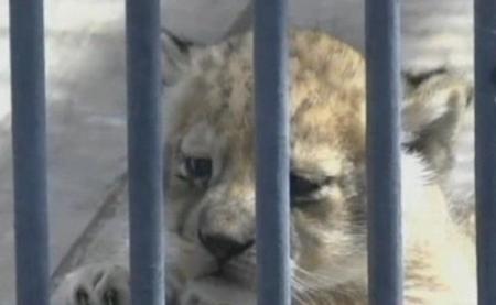В карагандинском зоопарке появились львята светлого окраса