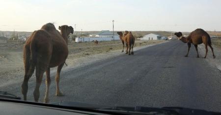 В Мангистау водитель, уходя от столкновения с верблюдом, опрокинул автомобиль
