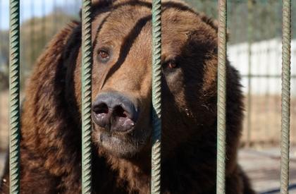 Взявший в долг деньги казахстанец использовал в качестве залога медведицу