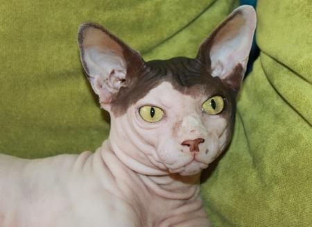 Кошка-сфинкс - кошка с шармом
