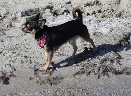 Самая маленькая порода собак