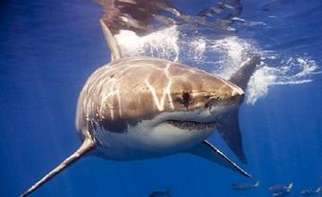 Акулы нападают на мужчин чаще, чем на женщин