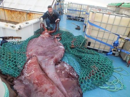 Гигантский кальмар размером с микроавтобус пойман в море Росса