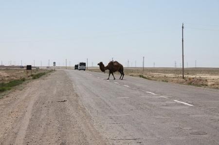 В Мангистау при наезде автомобиля на верблюда один пассажир погиб