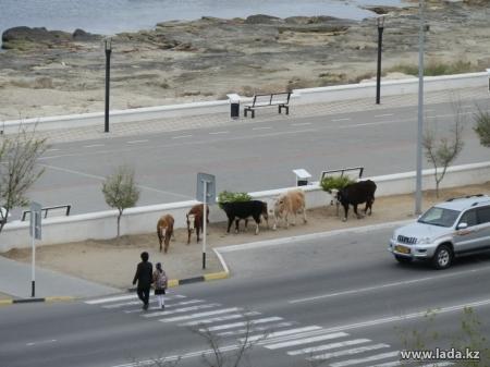 Постоянная штрафстоянка для бродячего скота появится в Актау не раньше 2016 года