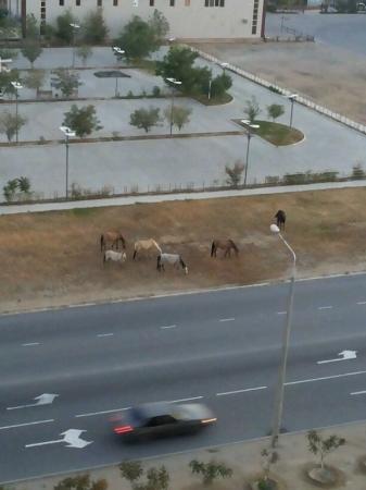 Лошади гуляющие возле ТРК Актау