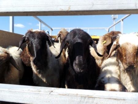 В Актау скотобойни закончили подготовку к Курбан айту