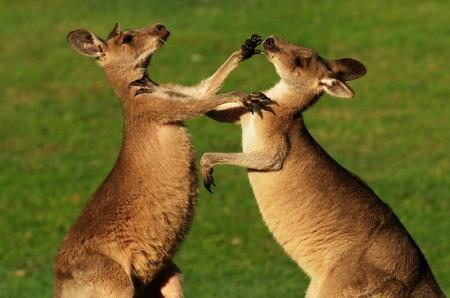 В австралийском городке на улице подрались кенгуру