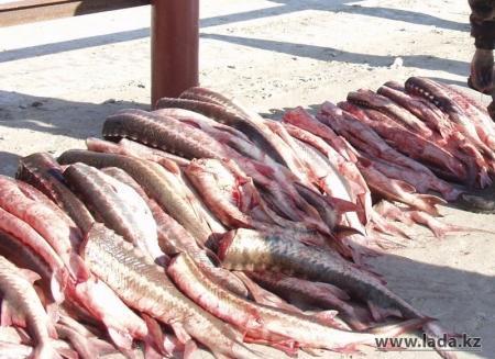 В Мангистау у жителя поселка Приозерный изъяли более ста килограммов рыбы осетровых пород