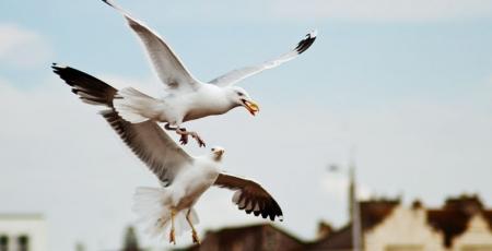 Самыми раздражающими птицами британцы признали чаек