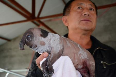 В Китае родился поросенок с хоботом