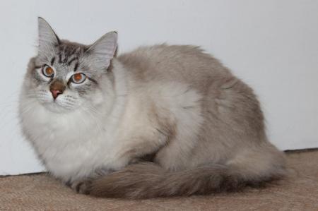 Невская маскарадная кошка — метис из России