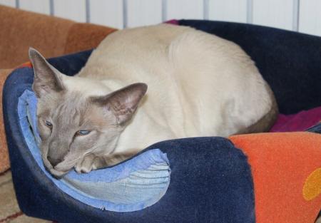 Сиамская кошка - благородство и спокойствие