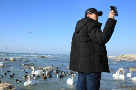 Лебеди у побережья Актау. Фотопост