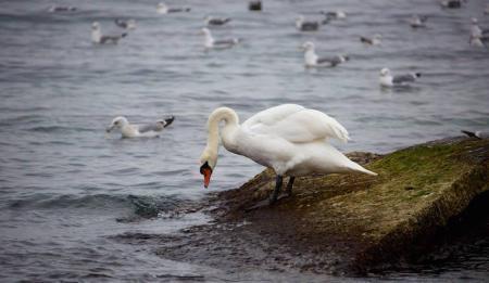 Лебеди в Актау. Видеозарисовка