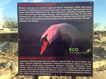 Экологи призвали жителей Актау перестать кормить лебедей хлебом