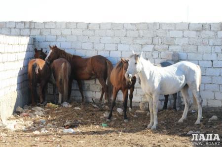 Азамат Кармышев: В Актау бродячий скот будет доставляться на убойные пункты
