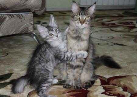 Мейн-кун – одна из самых интересных и необычных пород кошек