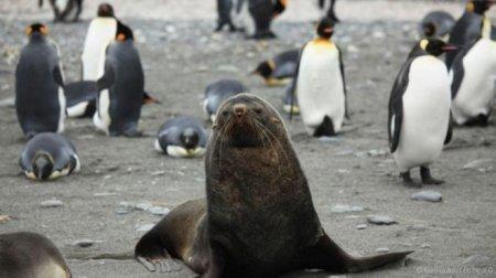 Почему морские котики насилуют пингвинов?
