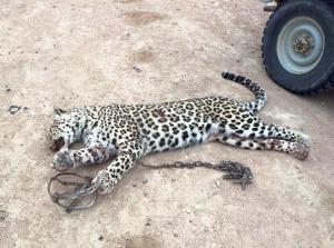 В социальных сетях разлетелись снимки переднеазиатского леопарда, пойманного в Мангистау