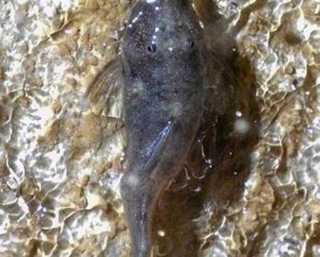 Найдена пещера с ползающими по стенам рыбами