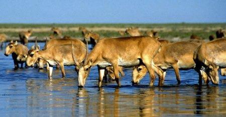 В Костанайской области погибло 10 тысяч особей сайгаков