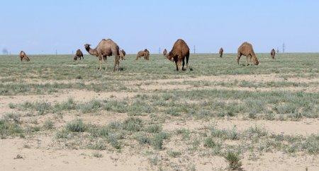 Галя Рзаханова: Для развития верблюдоводства необходимо повысить стоимость субсидий