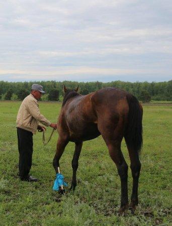 Казахстанцев возмутило жестокое обращение со скаковыми лошадьми в СКО