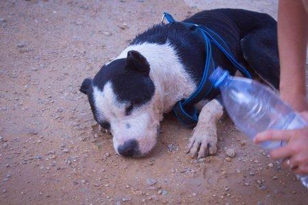 Защитники животных Актау заявили о жестоком обращении с собакой бойцовской породы