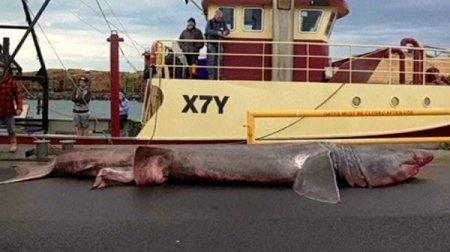 Гигантскую акулу выловили в Австралии
