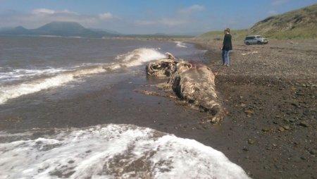 На берег Сахалина выбросило останки неопознанного волосатого существа