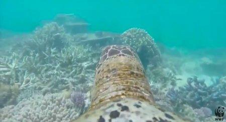 Камеру GoPro отправили путешествовать по Большому Барьерному рифу вместе с черепахой