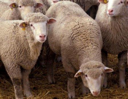 Россия ввела ограничения на поставки живых овец, коз, молочной продукции из Казахстана