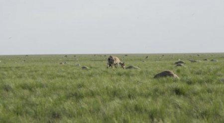 Европейские ученые назвали предварительные причины гибели сайгаков в Казахстане