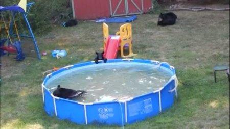 Медведица и пятеро медвежат искупались в надувном бассейне в Нью-Джерси