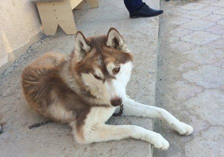 Найдена собака  породы Хаски