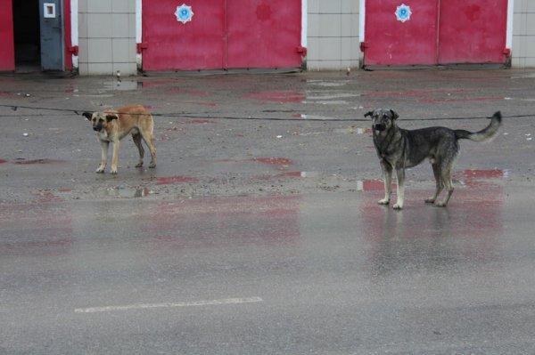 Бродячие собаки снова в Актау