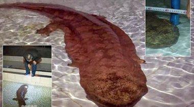 Гигантскую 200-летнюю саламандру нашли в отдаленной пещере