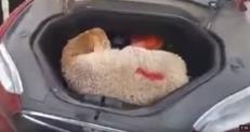 Барана поместили в багажник Tesla в Алматы