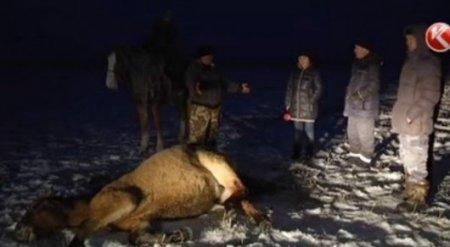 Табун лошадей в акмолинской степи расстрелял бизнесмен