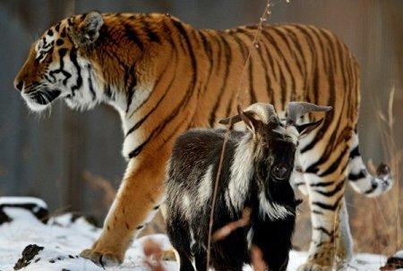 Ученый: тигр Амур съест козла Тимура, как только тот проявит страх