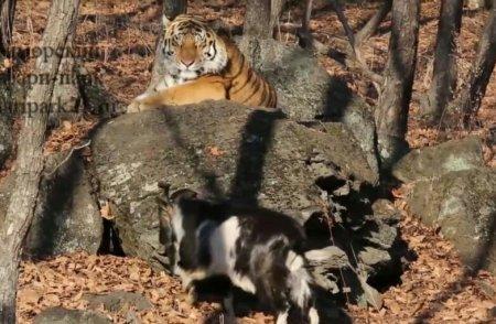 Тигр Амур дал оплеуху козлу Тимуру