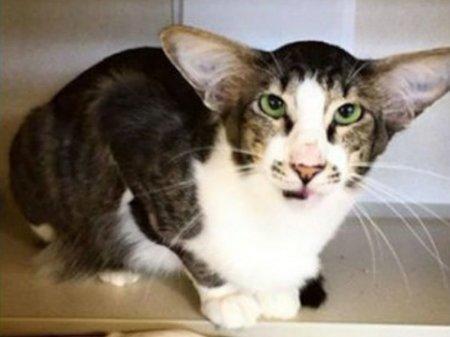 """Похожий на героя """"Звездных войн"""" кот нашел хозяев в Нью-Джерси"""