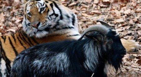 Тигр Амур едва не убил козла Тимура