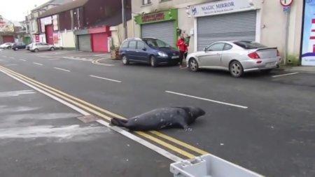 В Ирландии тюлень Сэмми ходит поесть в рыбный ресторан через дорогу