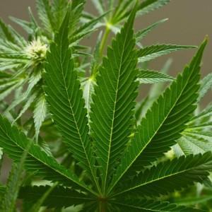 У сообщества любителей марихуаны в Казахстане почти четыре тысячи подписчиков