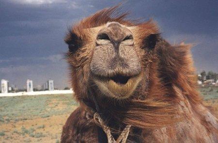 Жителей Тараза возмутило жестокое обращение с верблюдом